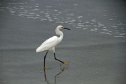 Snowy Egret at Beach 9