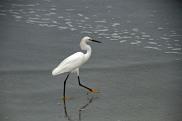 Snowy Egret at Beach 9