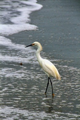 Snowy Egret on Beach 2