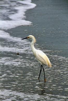 Snowy Egret on Beach 2