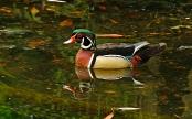 Wood Duck P