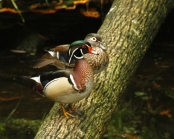 Wood Ducks on Log 2