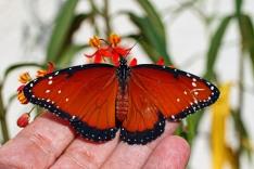 Queen Butterfly in Hand