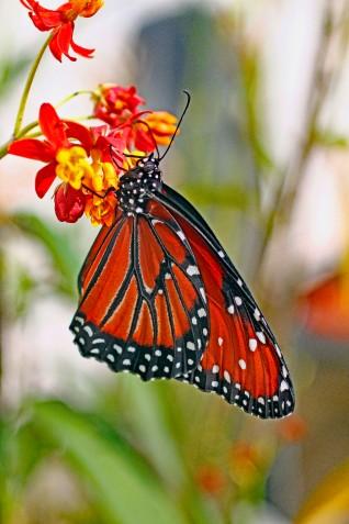 Queen Butterfly 12
