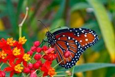 Queen Butterfly 7