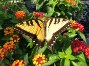 Tiger Swallowtail Butterfly I Phone compressed
