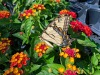 How Milkweed Helped the Tiger Swallowtail!