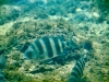 How Sheepshead Got Its Name