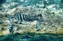 Sheepshead Fish 3