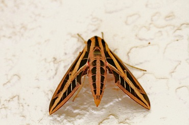 Banded Sphinx Moth 2