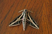 Banded Sphinx Moth 3