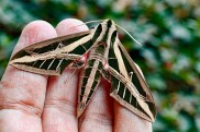 Banded Sphinx Moth 4