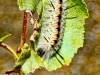 The Venomous Caterpillar