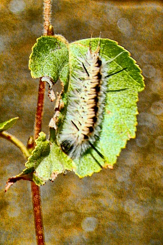 Tussock Moth Caterpillar on Leaf