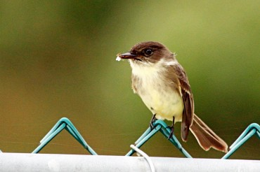 Eastern Phoebe With Bug (2)