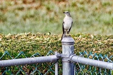 Mockingbird on Fence Post