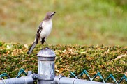Mockingbird on Post (2)