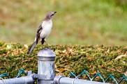 Mockingbird on Post (2)