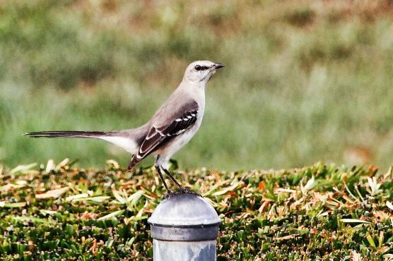 Mockingbird on Post 7 (2)