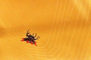 Spiny Backed Orb Weaver 13 (2)