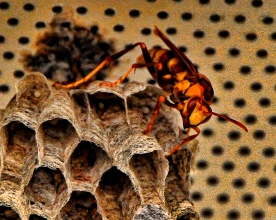 paper wasp and nest close up