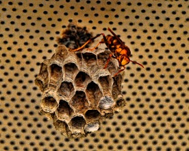 paper wasp and nest compressed