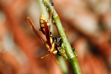 paper wasp easting caterpillar 2 compressed