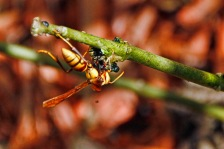 paper wasp eating caterpillar compressed