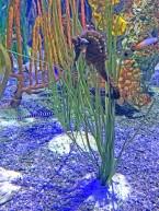 seahorse 7 compressed