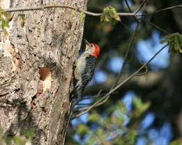 Red-bellied Woodpecker 16x20