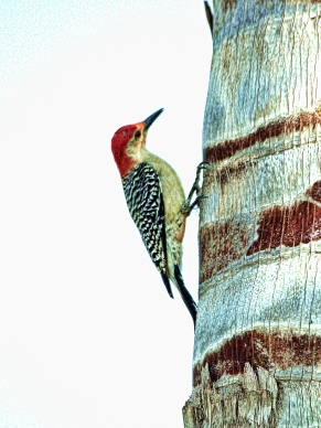Red-bellied Woodpecker on Palm Bark