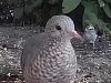 A Small Dove in North America