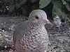 A Small Dove in NorthAmerica