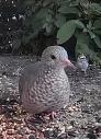 Ground Dove 5_