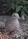 Ground Dove 5_