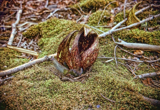 Skunk Cabbage Flower tweaked