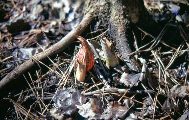 Skunk Cabbage img025 tweaked