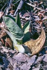 Skunk Cabbage Single Flower and Leaf Tweaked