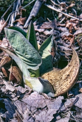 Skunk Cabbage Single Flower and Leaf Tweaked