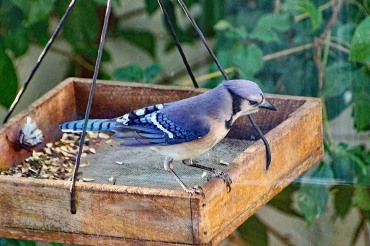 Blue Jay 2019 compressed
