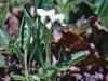 The White Violets