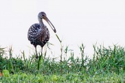 Limpkin with Snail 2 2019