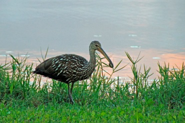 Limpkin with Snail 2019