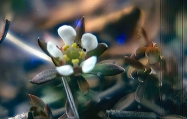 Pyxie Moss Flower with Ant