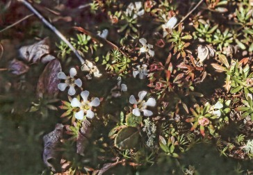 Pyxie Moss Flowers