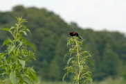 Red-winged Blackbird 2