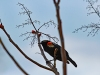 Red-Winged Blackbirds are HomeAgain