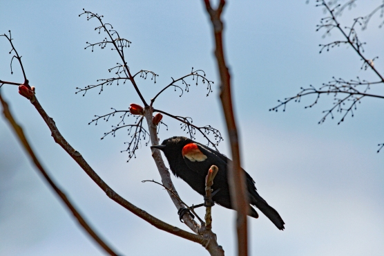 Red-winged Blackbird 4