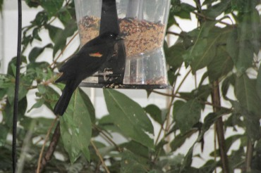 Red-winged Blackbird Final