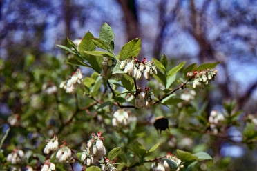 Blueberry Highbush img191 2